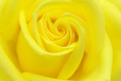 Photograph - Yellow Rose by Cindi Ressler