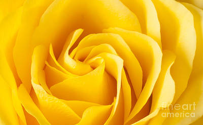 Photograph - Yellow Rose by Colin Rayner