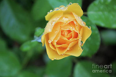 Photograph - Yellow Rose Details by John S