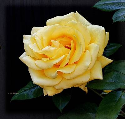 Yellow Rose Art Print by Edward Haskell