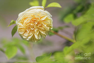 Photograph - Yellow Rose by Eva Lechner