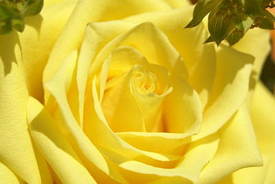 Yellow Rose Art Print by Heidi Poulin