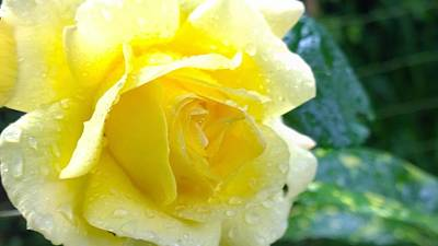 Photograph - Yellow Rose by Yoursbyshores Isabella Shores