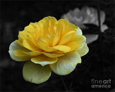 Yellow Rose In Bloom Art Print by Smilin Eyes  Treasures