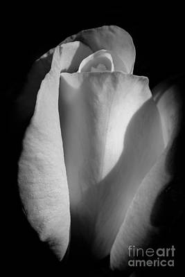 White Rose Photograph - Yellow Rose In Bw by Brian Luke