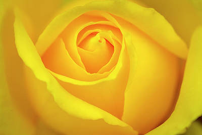 Photograph - Yellow Rose Insider by Teri Virbickis