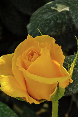 Photograph - Yellow Rose by Isam Awad