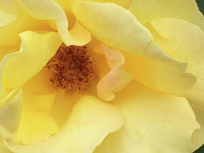 Photograph - Yellow Rose by Jacklyn Duryea Fraizer
