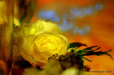 Photograph - Yellow Rose by JCYoung MacroXscape