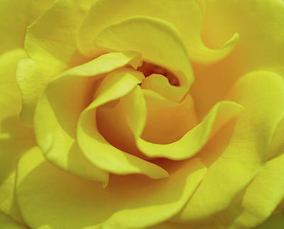 Photograph - Yellow Rose by Jocelyn Kahawai