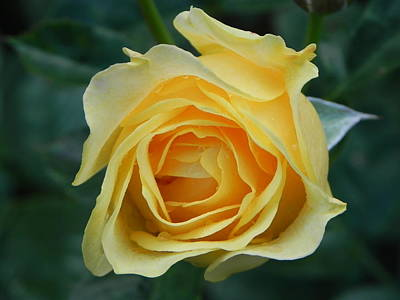Photograph - Yellow Rose by John Parry