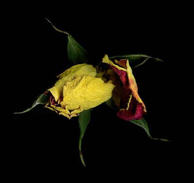 Pasta Al Dente - Yellow Rose by John Stuart