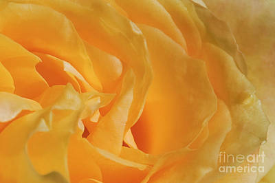 Photograph - Yellow Rose Joy And Friendship by David Zanzinger