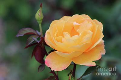 Photograph - Yellow Rose by Karen Adams