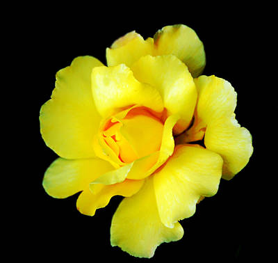 Photograph - Yellow Rose by Leticia Latocki