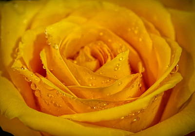 Photograph - Yellow Rose by Lilia D