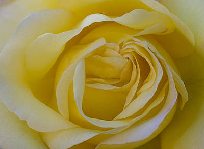 Photograph - Yellow Rose by Loree Johnson