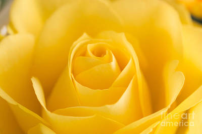 Photograph - Yellow Rose Macro 2 by Steve Purnell