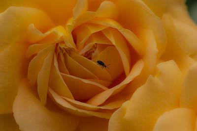 Photograph - Yellow Rose  by Marco Busoni