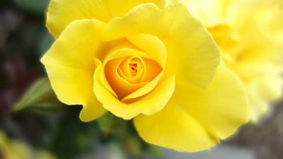 Photograph - Yellow Rose by Matthew Bamberg