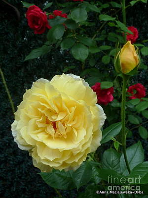 Folkartanna Photograph - Yellow Rose Midas Gold 2 by Anna Folkartanna Maciejewska-Dyba