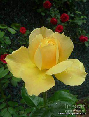 Folkartanna Photograph - Yellow Rose Midas Gold 3 by Anna Folkartanna Maciejewska-Dyba
