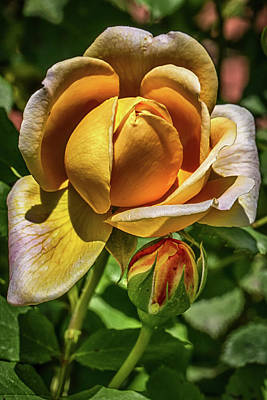 Photograph - Yellow Rose Of Asheville by John Haldane