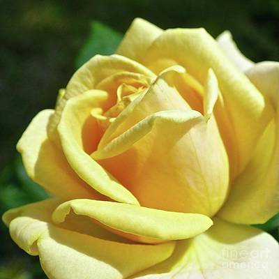 Photograph - Yellow Rose Of Friendship by Jean Wright