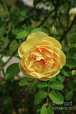 Photograph - Yellow Rose Of Texas by Robert Anschutz