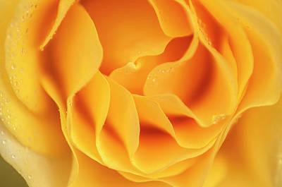 Photograph - Yellow Rose Of Texas by Usha Peddamatham
