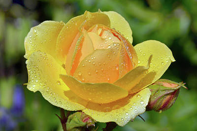 Photograph - Yellow Rose Portrait by Terence Davis