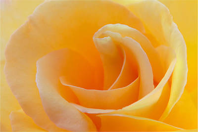 Photograph - Yellow Rose by Ram Vasudev