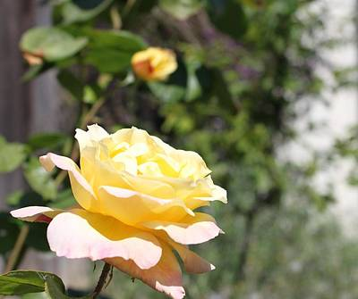 Photograph - Yellow Rose by Remegio Onia