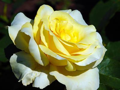 Photograph - Yellow Rose by Richard Engelbrecht