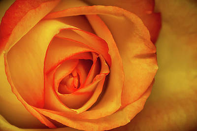 Photograph - Yellow Rose by Ron Pate
