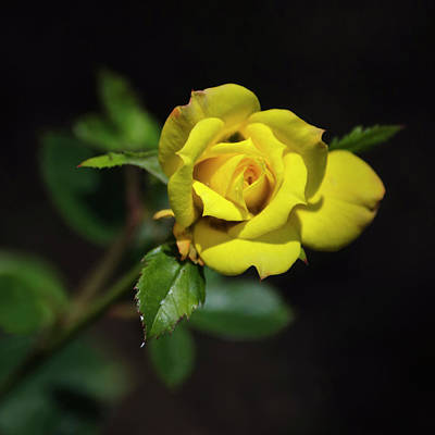 Photograph - Yellow Rose Square by Christina Rollo