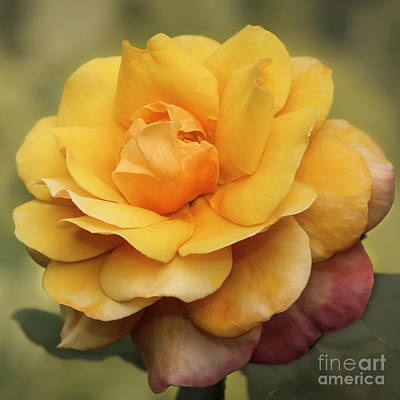 Photograph - Yellow Rose Squared by Sabrina L Ryan