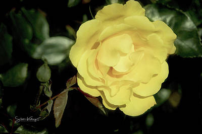Photograph - Yellow Rose by Steve Kelley