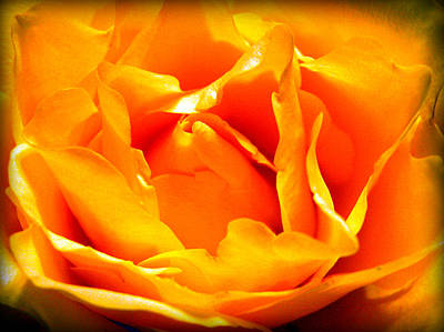 Prickly Rose Photograph - Yellow Rose by Susie Weaver