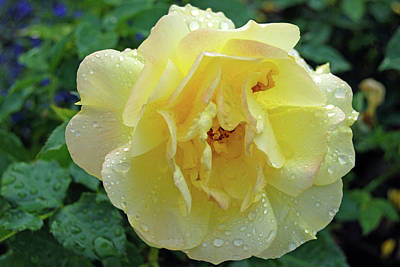 Photograph - Yellow Rose by Tamara Sushko
