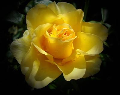 Photograph - Yellow Rose by Veronica Rickard