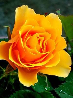 Photograph - Yellow Rose by Vijay Sharon Govender