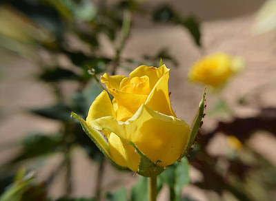 Photograph - Yellow Rose With Ants by Aimee L Maher ALM GALLERY