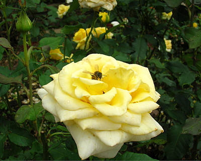 Photograph - Yellow Rose With Bee 1 by George Jones