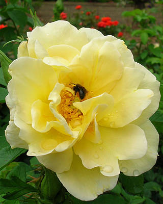 Photograph - yellow Rose with Bee 2 by George Jones