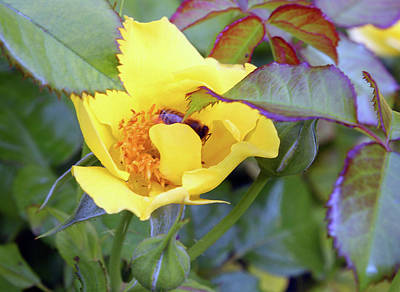 Photograph - Yellow Rose With Bee by Ellen Tully