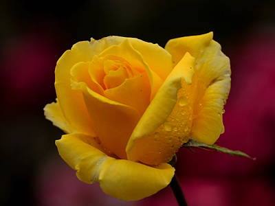Train Photography - Yellow Rose with Spring Raindrops by Richard Thomas
