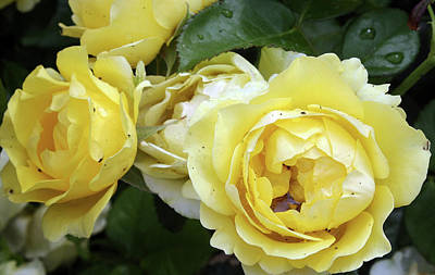 Photograph - Yellow Roses by Ellen Tully