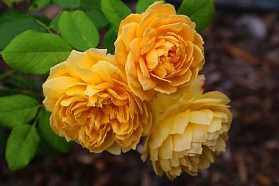 Photograph - Yellow Roses by Kathryn Meyer