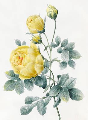 Flower Still Life Drawing - Yellow Roses by Louise D'Orleans